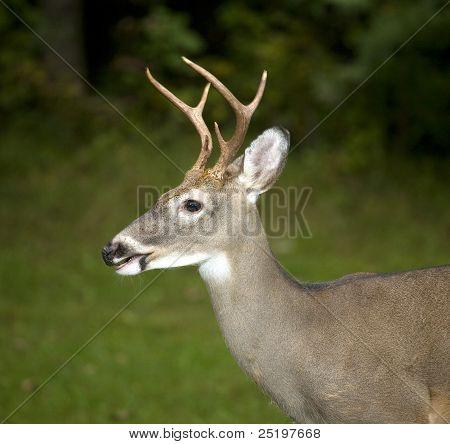 Bewegung Buck