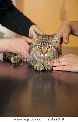 domestic cat being examined