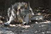 Gorgeous Timber Wolf Sleeping And Resting In The Sun. poster
