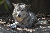 Close Up Look At A Wild Tundra Wolf. poster