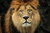 Detail Face Berber Lion With Yellow Eyes. Photo From World Of Animals. poster