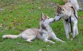 picture of reunited  - Reunited husky brothers sharing affection with one another - JPG