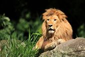stock photo of endangered species  - Male Lion in the wild - JPG