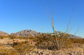 foto of ocotillo  - Ocotillo Cactus with a mountain backdrop under a clear blue sky - JPG