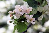 Spring Flowers Of Blooming Spring Apple Tree. Natural Spring Flower Landscape, Closeup Of Spring App poster