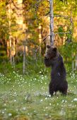 Young European Brown Bear (ursus Arctos) Hugging A Tree In Swamp In North-eastern Finland At The End poster