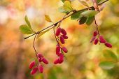 Barberry Berries Hanging On A Branch On A Colored Soft Background. Branch With Berries. poster