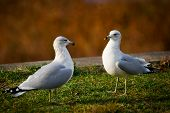 Two Common Gulls Facing Eacth Other