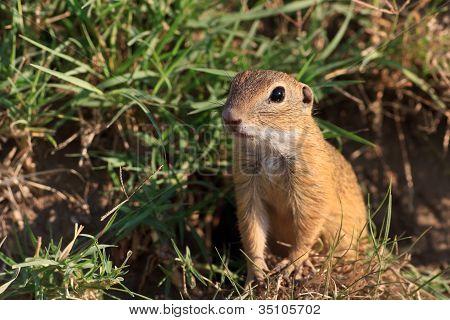 Prairie Dog In The Grass