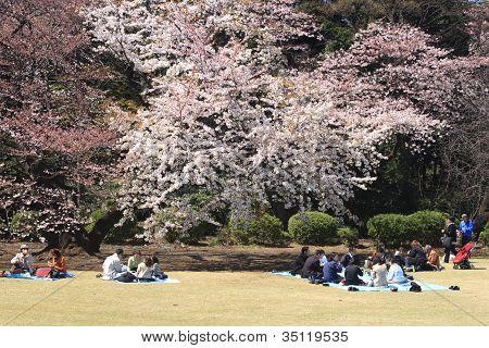 Cherry Blossom Festival In Tokyo