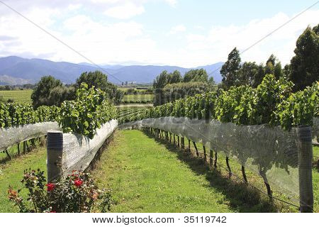 Vineyard At Hawkes Bay