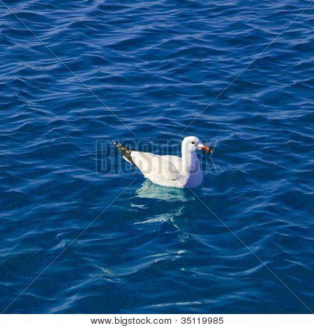 Gaivota flutuando no mar tranquilo offshore