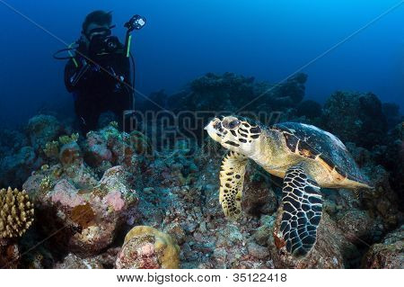 Hawksbill Turtle, Indian Ocean, Maldives