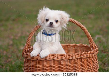 Pekinese puppy in basket