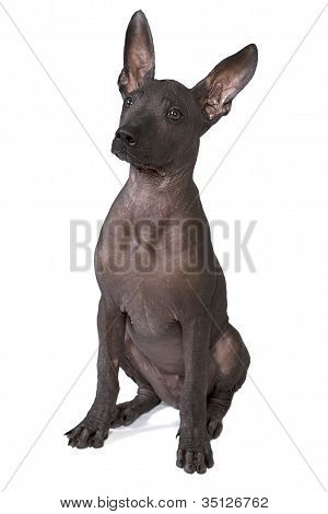 Three Month Old Xoloitzcuintle Puppy