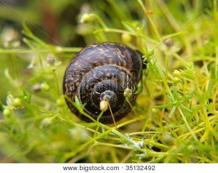 Closeup Of Snail With A House, Sliding Through Fresh Green Grass