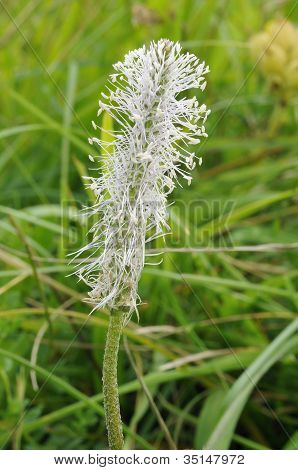 Hoary Plantain Flower