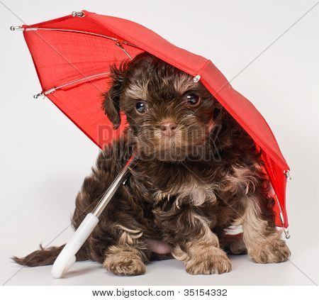 Puppy with umbrellas