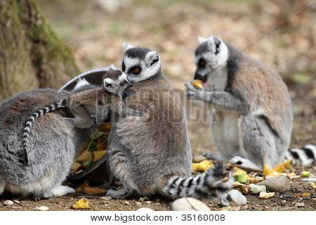Ring-tailed Lemur With Cub