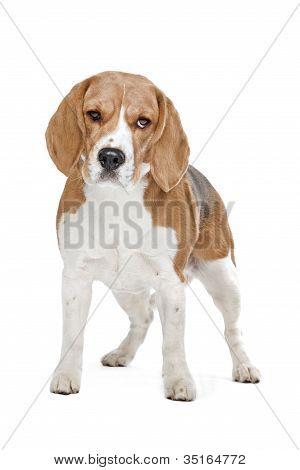 Beagle Hound