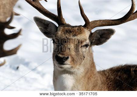 Buck Portrait.