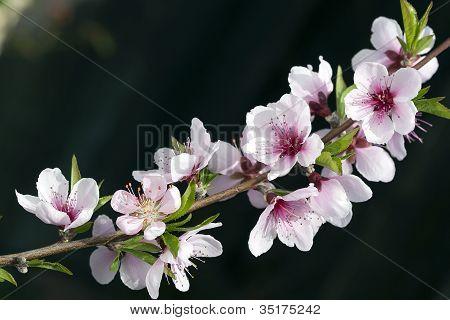Macro Of Peach Blossoms