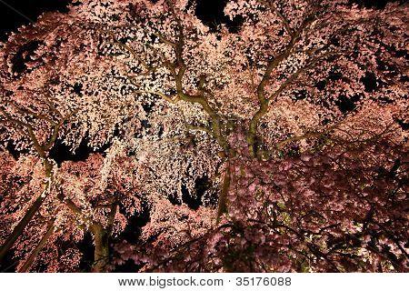 Illuminated Cherry Tree In Fukushima, Japan