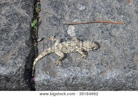 Urban Gecko