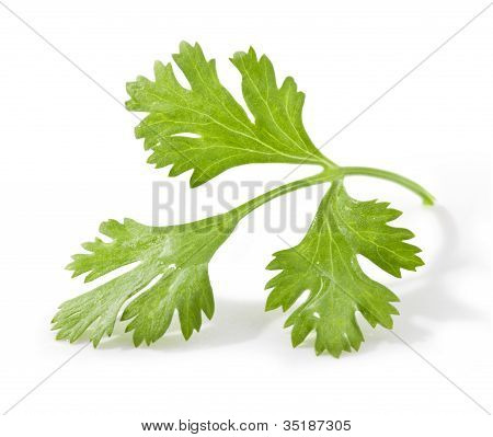 Coriander leaves, with clipping paths
