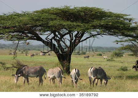 African Tree with ha herd of zebra