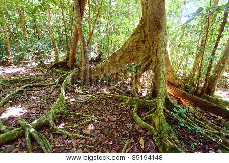 Fig Tree In Virgin Islands