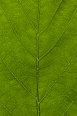 stock photo of chloroplast  - A high resolution image of a leaf at microscopic size - JPG