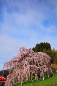 picture of fukushima  - Cherry tree - JPG