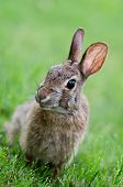Curiuos looking cottontail bunny rabbit