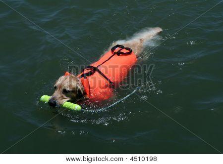 Perro de natación con chaleco salvavidas