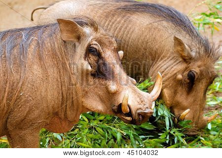 Portrait of warthog