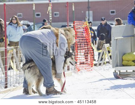 Husky Getting Ready At Dog Pulling Sled Competition