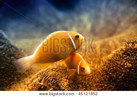 Underwater Clownfish And Anemone
