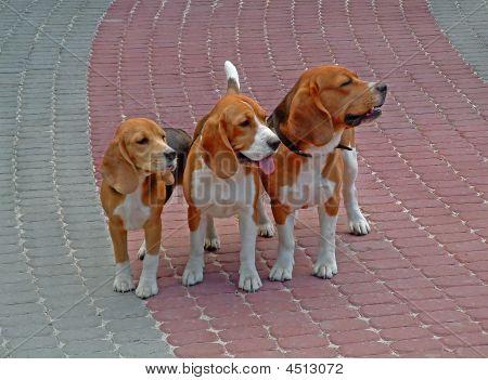 Family Beagle