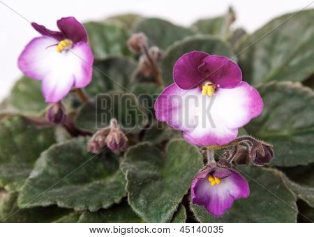 Indoor Herb - Violet Flowers Of Viola