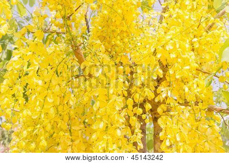 Fully yellow color of Golden flower