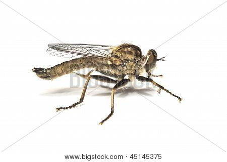 dagger flies,empididae