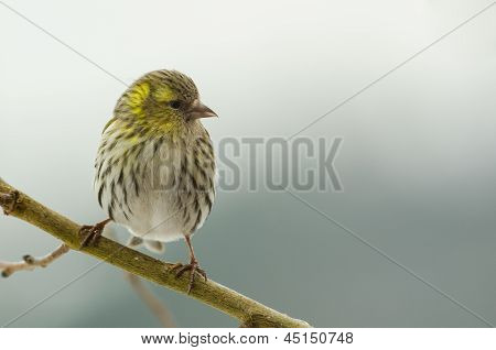 Bird Female Siskin (carduelis Spinus)