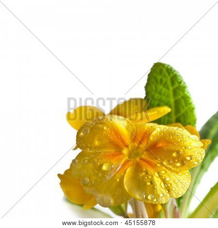 Yellow blossom of primula flower with water drops close up, isolated on white background