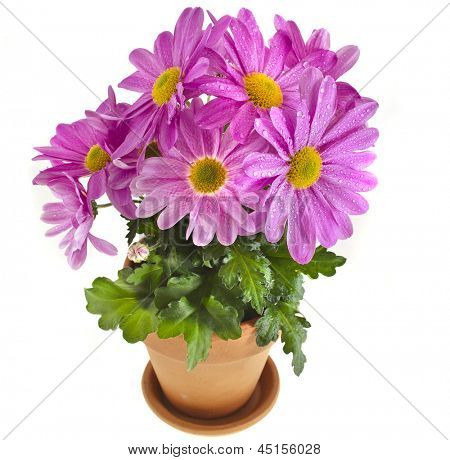 chrysanthemum flower plant potted isolated on white background