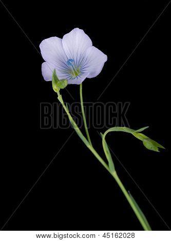 Linum Bienne - Pale Flax Macro Detail, Spring Wild Flower