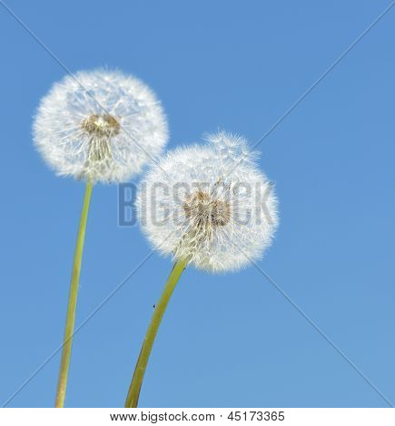 two dandelion on blue sky background