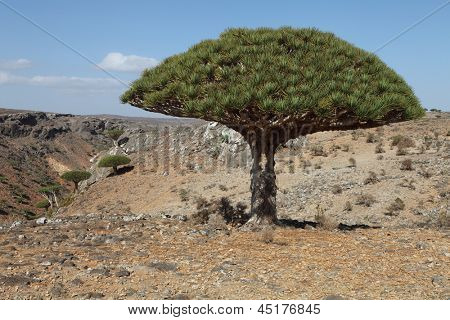 Dragon tree - Dracaena cinnabari - Dragon's blood - endemic tree from Soqotra, Yemen
