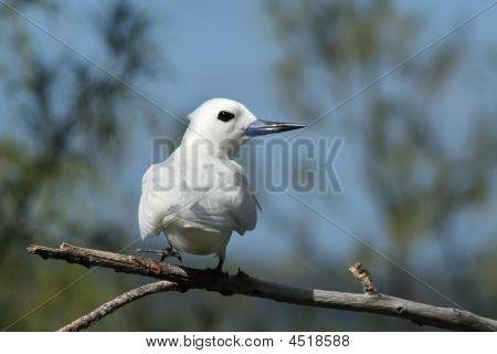 White Frigate Bird (gygis Alba) 002