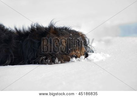 Dachshund In The Snow